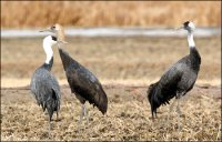 Cranes in Danger on Development