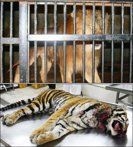 Lion Kills Tiger in Zoo