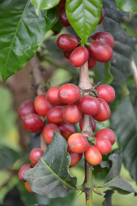 / Courtesy of Jeju Coffee Farm