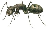 Ants use 'math' to find fastest route