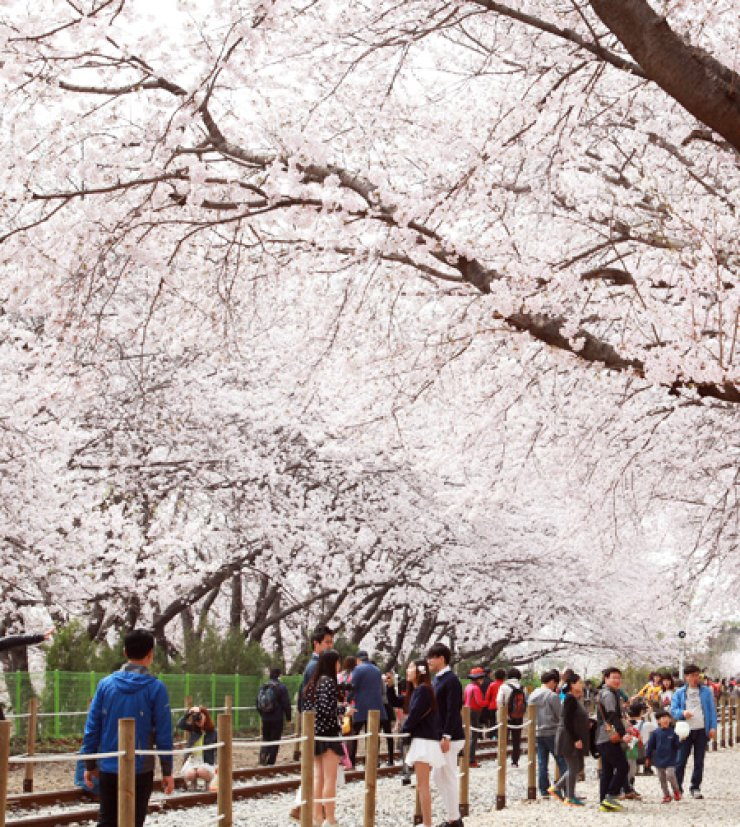 Tourists walk under cherry blossom trees in full bloom at Gyeonghwa Station in Changwon, South Gyeongsang Province, Monday, a day before the opening of Jinhae Goonhangje, a cherry blossom festival. / Yonhap