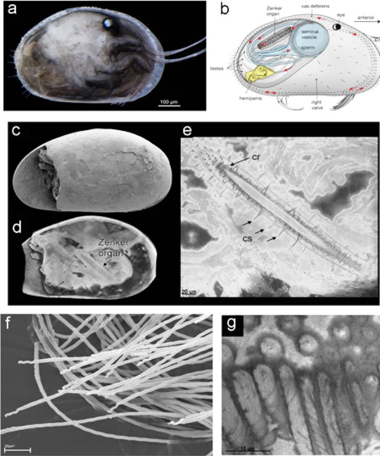 This undated handout photo combo received from on Wednesday shows details of the world's oldest and best-preserved sperm, dating back 17 million years: a. Specimen of the modern Australian ostracod Newnhamia fenestrata with the right valve removed. b. Sketch of a male ostracod, or mussel shrimp, showing the organization and orientation of the reproductive system. c. Scanning electron microscopic image of Riversleigh fossil shrimp seen from the left side, with left valve partly missing. d. Virtual reconstruction of fossil showing one of two Zenker organs. e. Details of fossil Zenker organ and chitinous rings around the central tube and chitinous spines. f. Spiralled giant sperm in modern Australian mussel shrimp. g. Spiralling of giant sperm in fossilized mussel shrimp. The sperm from an ancient species of tiny shrimp was discovered at the Riversleigh World Heritage Fossil Site, an area in the far north of the state of Queensland where many extraordinary prehistoric Australian animals have previously been found. / AFP-Yonhap