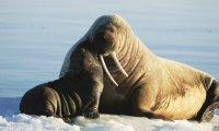 Carbon monoxide means life for elephant seals