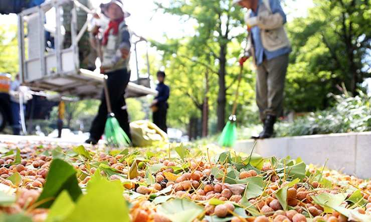 Ginkgo nuts on a street near the National Assembly in Seoul. The city government is cleaning the streets more often than usual following complaints about the bad smell of ginkgo nuts. / Korea Times