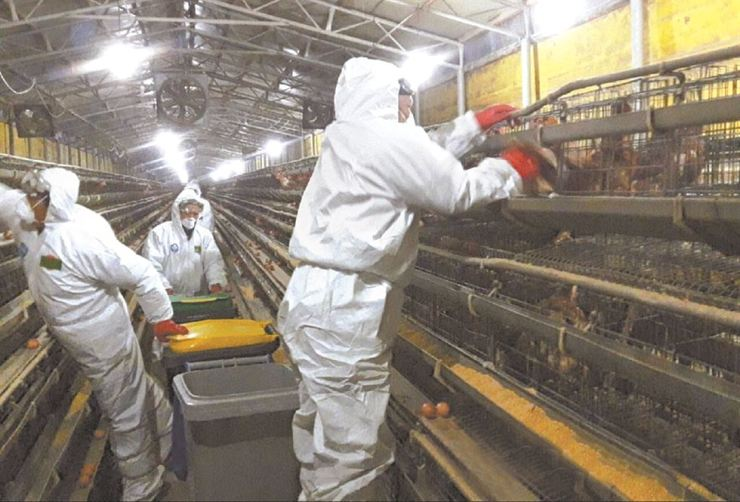 Quarantine officials gather chickens to cull them at a farm in Asan, South Chungcheong Province, Saturday, where they tested positive for the H5 strain of avian flu. Local authorities culled 450,000 chickens from eight farms on this day./ Yonhap