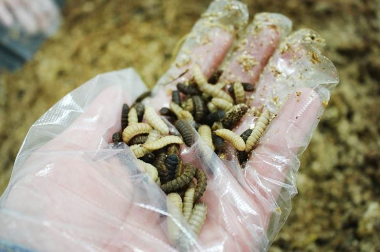 Ptecticus tenebrifer's larvae are South Korea's new channel to dispose of mounting food wastes. / Capture from Naver blog