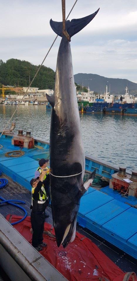 The minke whale caught dead near Pohang. / Yonhap