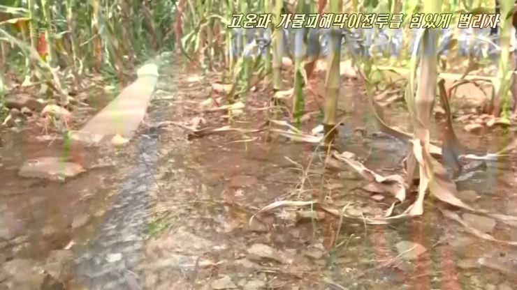 North Korean state-run KCNA TV shows corn stalks, shriveled in the heat. Yonhap