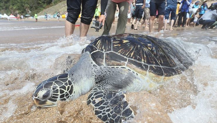 A sea turtle is released after its injuries were treated. Yonhap