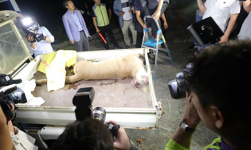 Escaped puma shot dead
