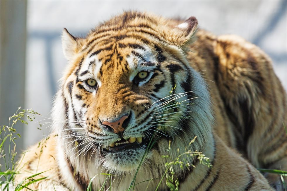 Weed smokers find tiger in abandoned home