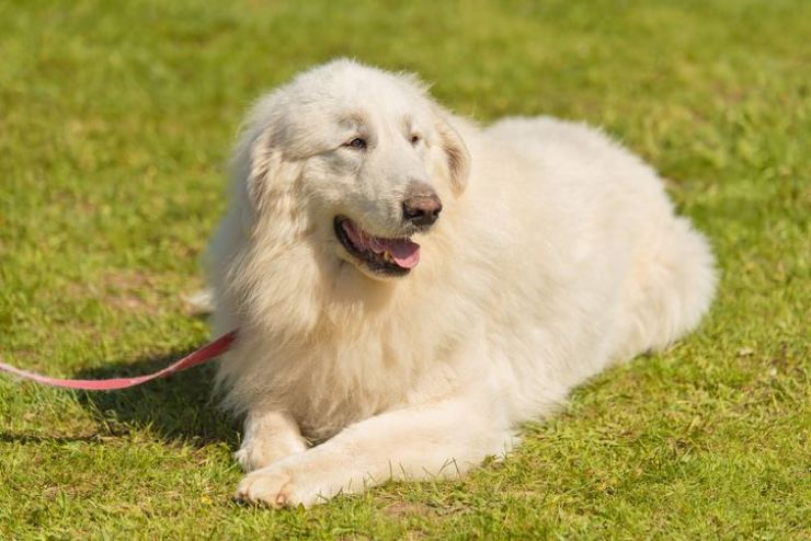 A Great Pyrenees, the breed of dog involved in the Busan incident. gettyimagesbank
