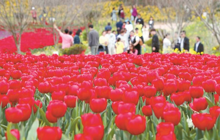 Visitors enjoy red tulips in full bloom at the Taean World Tulip Flower Festival at Korea Flower Park in South Chungcheong Province, Sunday. The event was rated one of the world's top five tulip festivals in 2018. The festival runs until May 12. / Yonhap