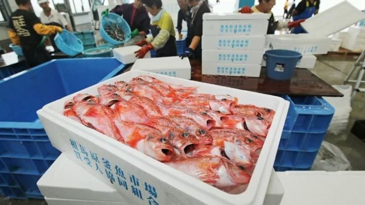 This picture taken on Sept 25, 2013, shows fishermen packing fish caught 50 km off the coast of Soma port in Fukushima prefecture to check their radiation level. AFP