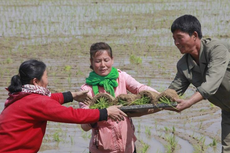 In this May 12, 2019, photo, farmers replant rice seedlings in a field in Chongsan-ri, North Korea. South Korea vowed to move quickly on its plans to provide $8 million of humanitarian aid to North Korea while it also considers sending food to the country that says it is suffering its worst drought in decades. AP-Yonhap