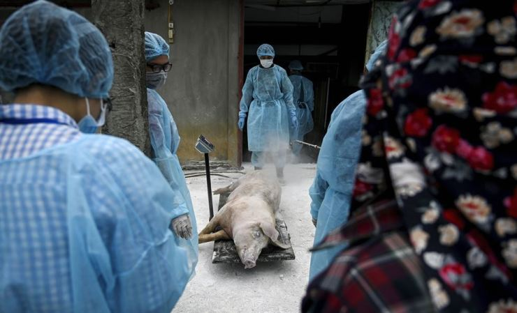 This photograph taken on May 27 shows veterinarians and health officials weighing a dead pig at a farm in Hanoi before burying it in an isolated quarantined pit to stop the spread of African Swine Fever. Millions of pigs have been culled as African swine fever cuts through China and beyond, devastating global food chains with pork prices expected to soar from the wet markets of Hong Kong to American dinner tables. AFP