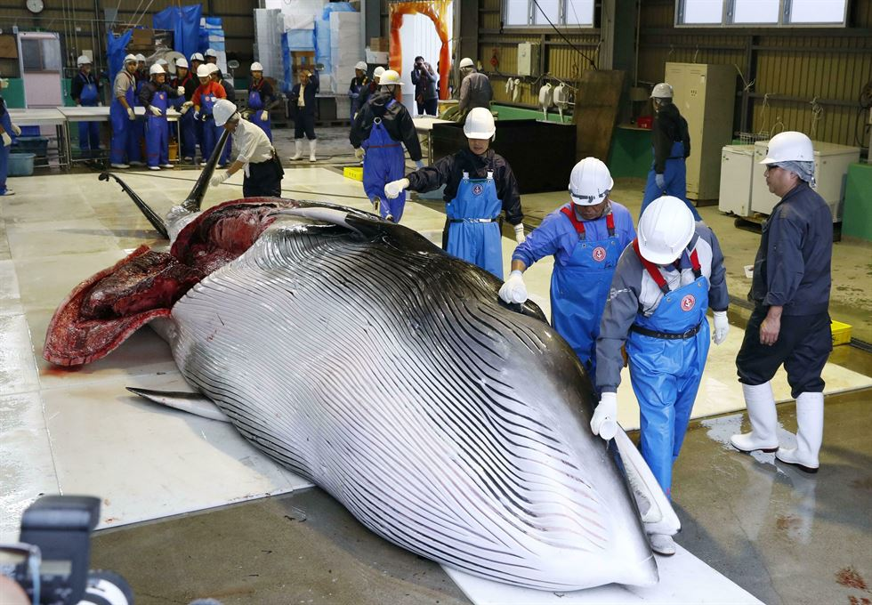 A minke whale is hauled up to bring on a truck at a Kushiro Port, Japanese northern island of Hokkaido, July 1, after resuming commercial whaling. Japan withdrew from the International Whaling Commission on June 30 and began commercial whale hunt for the first time in 31 years. EPA