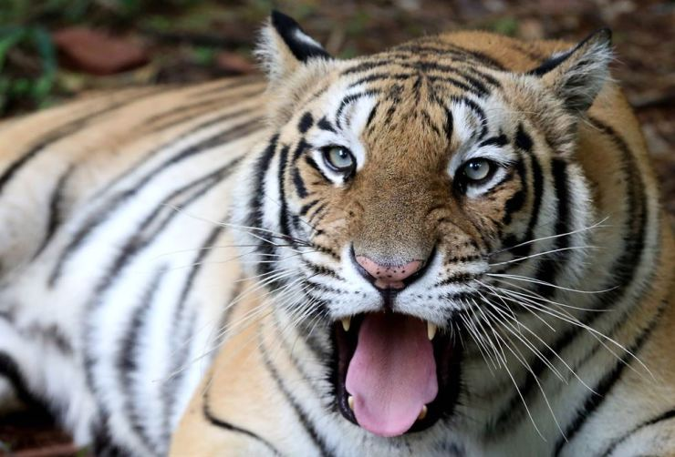 A Royal Bengal tiger in its enclosure at the Van Vihar National Park on the occasion of World Tiger Day in Bhopal, India, July 29. EPA