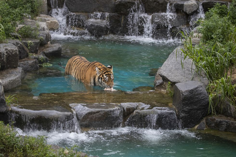 A Siberian tiger bites into an uncooked chicken at a pond inside its cage at Seoul Grand Park, Tuesday. The park hosted various events to mark International Tiger Day, which fell on July 29. Korea Times photo by Shim Hyun-chul