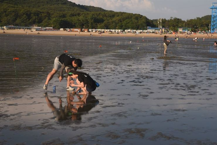Two people search for sea life on the tidal flat at Hanagae Beach on Muui Island. / Korea Times photo by Jon Dunbar