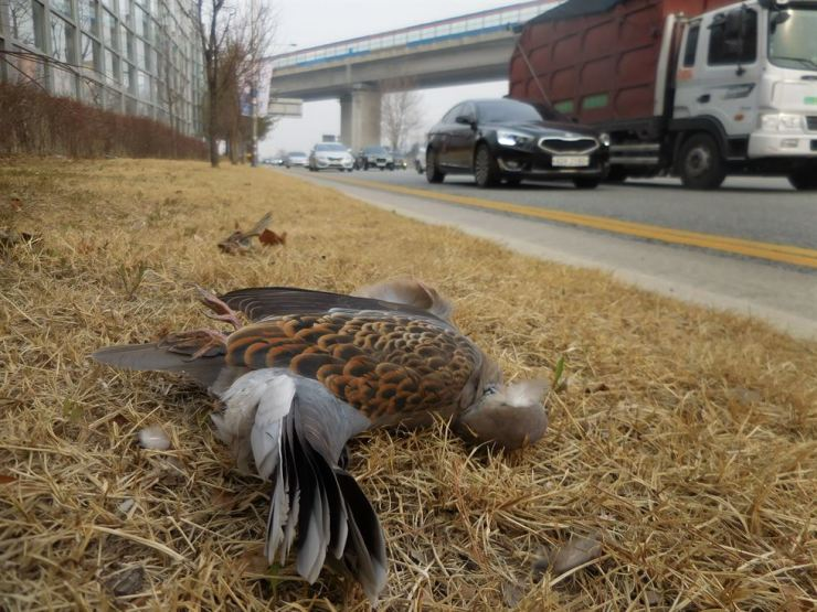 A bird lies dead in front of a roadside noise barrier. Courtesy of National Institute of Ecology