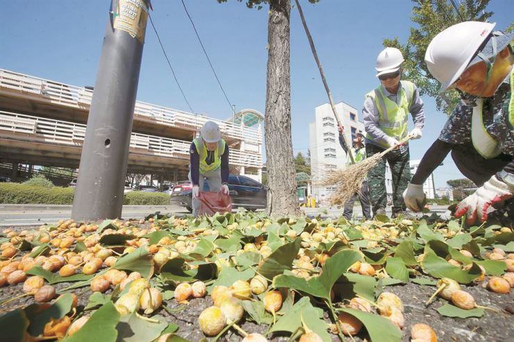 Employees from Buk-gu Office in Gwangju pick up leaves and berries fallen from gingko trees in the street, Wednesday. As there have been rising complaints due to the smell that comes from the fruit, the office decided to remove the berries from the trees and collect them before they fall naturally. Yonhap