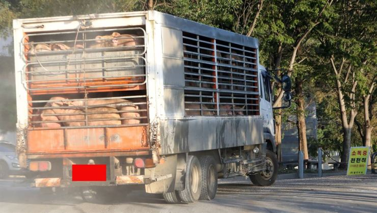 A truck carrying pigs enters a slaughterhouse at Hongseong in South Chungcheong Province, Thursday. The government has lifted the 48-hour movement ban on local pig farms.