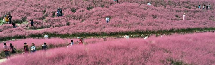 Visitors walk around a pink muhly grass garden at Chilgok in North Gyeongsang Province, Sunday. Yonhap