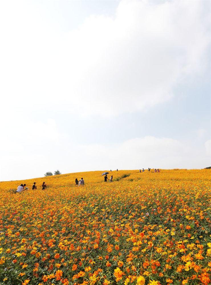 Visitors walk through a field of cosmos at Anseong Farmland in Anseong, Gyeonggi Province, Friday, as the autumn foliage season has arrived. / Yonhap