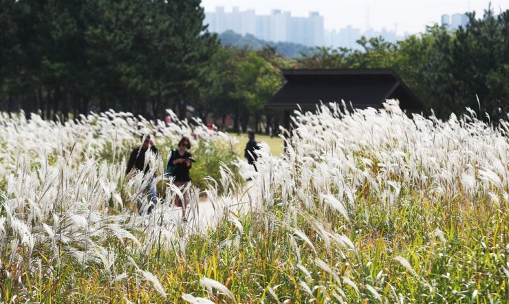 Visitors take pictures in silver grass fields at Gaetgol Ecological Park in Siheung, Gyeonggi Province, Monday. Clear skies are expected nationwide for a while, with big temperature differences between day and night. Yonhap