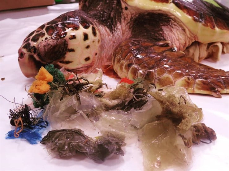 A dead loggerhead sea turtle is filled with a variety of plastic garbage in its stomach.  붉은바다거북 사체의 내장에 가득찬 플라스틱 쓰레기의 모습. /Korea Times file