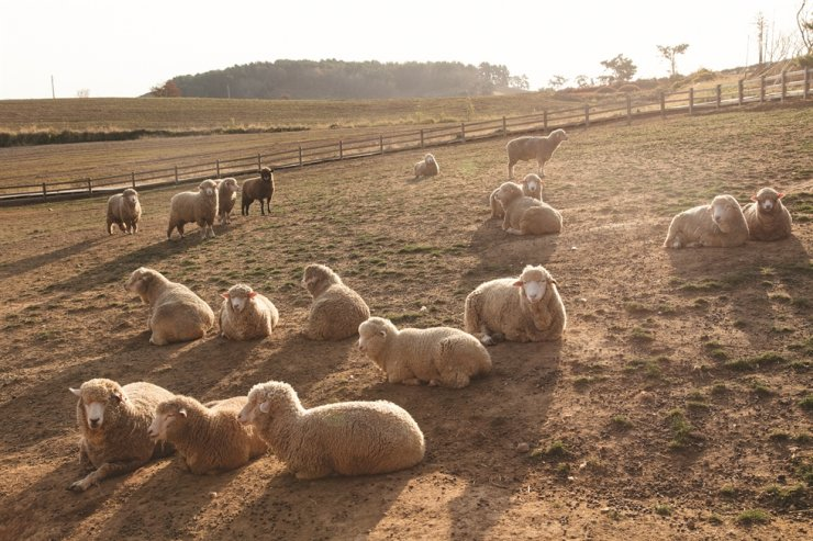 Sheep rest on the slopes on Sangha Farm. /Courtesy of Sangha Farm