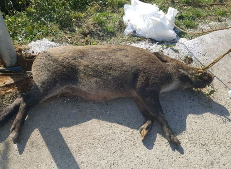 A wild boar confirmed to have been infected with African swine flu lies dead in the central border County of Yeoncheon, Gyeonggi Province, Oct. 11. Courtesy of Ministry of Environment