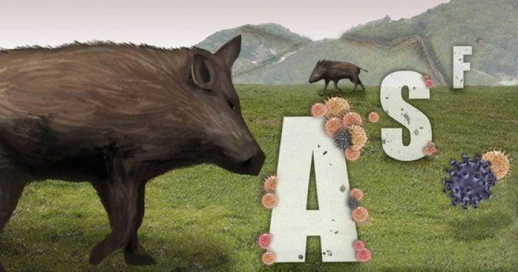 The number of wild boars infected with the African swine fever virus has been increasing in South Korea. Yonhap
