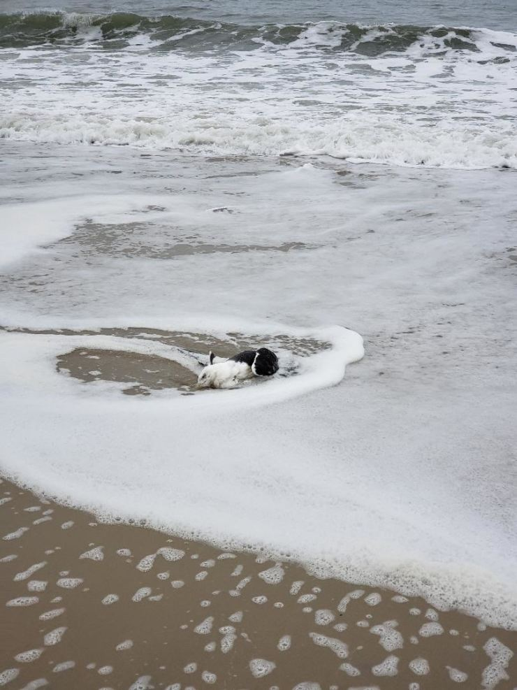 A bird is lying dead on a beach in Ocean City, Maryland/ Courtesy of Chang Se-moon