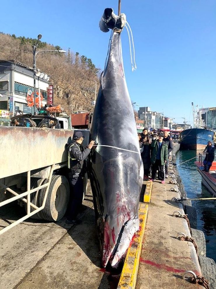 A dead minke whale is lifted after a fisherman found it off Yeongdeok, North Gyeongsang Province, Sunday. Courtesy of Korea Coast Guard
