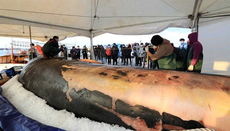 People watch mammal researchers carrying out an autopsy on the dead body of a 12.6-meter-long right whale at a port on Jeju Island, Friday. /Yonhap