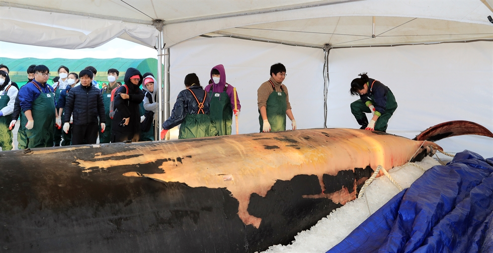 People watch mammal researchers carrying out an autopsy on the dead body of a 12.6-meter-long fin whale at a port on Jeju Island, Friday. Yonhap