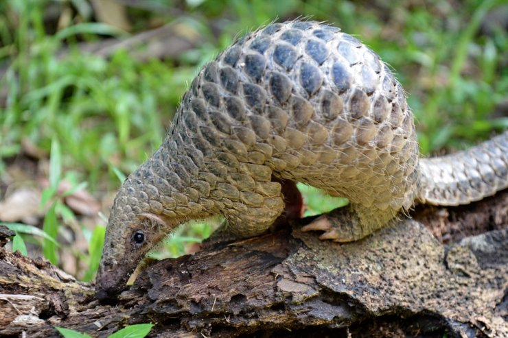 In this file photo taken on June 30, 2017, a juvenile Sunda pangolin feeds on termites at the Singapore Zoo. The endangered pangolin may be the link that facilitated the spread of the novel coronavirus across China, Chinese scientists say. AFP