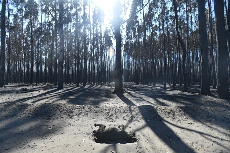 A Koala lies dead after bushfires swept through Kangaroo Island, Australia, Feb. 7, 2020. EPA-Yonhap