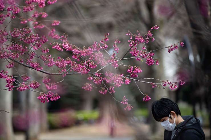 A man wearing a face mask, amid fears over the spread of the COVID-19 novel coronavirus, walks past cherry blossom trees at Ueno park in Tokyo on March 12, 2020. AFP