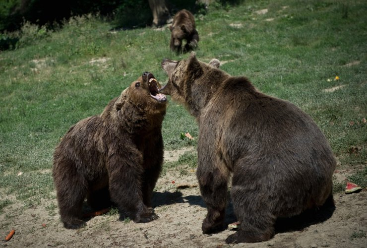 This file photo taken on June 24, 2015 shows bears at 'Libearty' bear sanctuary in Zarnesti, Romania.  /AFP