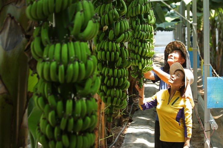 Hong Hong-keum and her husband examine ripening bananas at a greenhouse in Haenam, South Jeolla Province, June 9. Yonhap