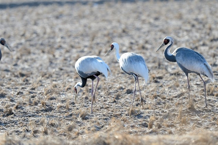 Red-crowned cranes in Cheorwon Korea Times file