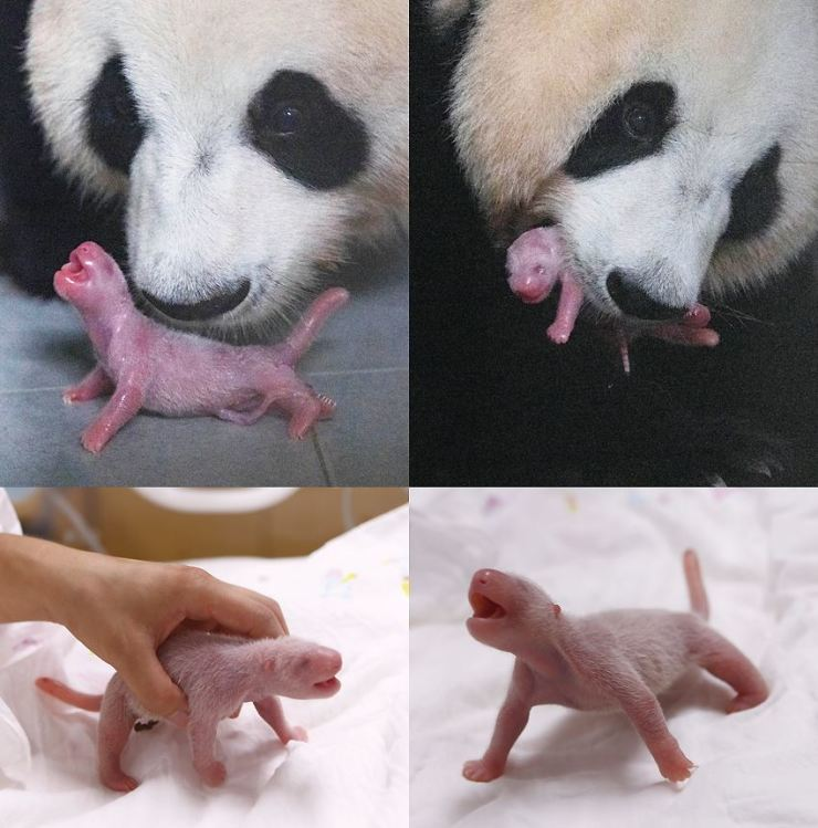 These combined photos, released Wednesday, show a giant panda born at Everland in Yongin, Gyeonggi Province. The theme park said the 16.5 centimeter cub was born to Chinese female Ai Bao, Monday, and was sired by Le Bao. This is the first case of a Giant panda being born in Korea. Giant pandas are one of the species that are difficult to breed, as female pandas enter estrus only once a year, for one to three days on average. Everland said it will not allow public viewing of the cub for a while but will release photos through its SNS accounts. Courtesy of Everland
