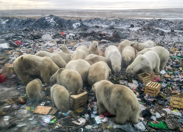 Polar bears feed at a garbage dump near the village of Belushya Guba, on the remote Russian northern Novaya Zemlya archipelago, a tightly-controlled military area where a village declared a state of emergency in February after dozens of bears were seen entering homes in this 2018 file photo. /AFP