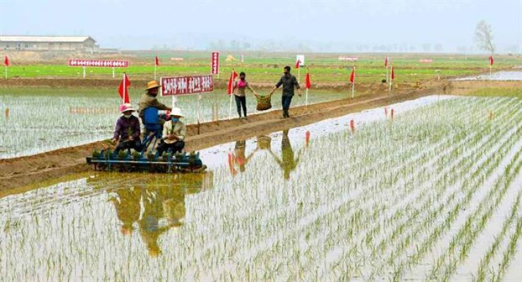 North Korean farmers plants rice in the field in Pyongwon County, South Pyeongan Province, in May 19. Yonhap