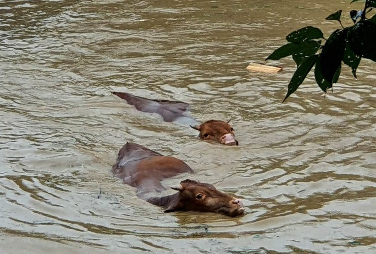 Cows swim in floodwaters in Gurye, South Jeolla Province, Saturday, after torrential rain pounded the area. Yonhap