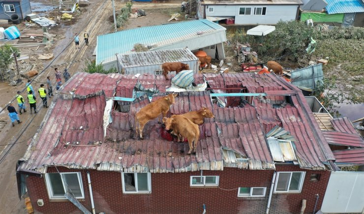 Cows are stranded on the roof of a house in Gokseong, South Jeolla Province, Sunday, following the subsiding of floodwaters the day after they clambered on the roof during a flood amid a massive downpour in the region. / Yonhap