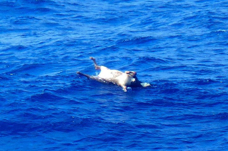 This handout picture taken on Thursday and provided by Japan's 10th Regional Coast Guard Headquarters, Friday, shows the carcass of a cow floating on the sea surface. AP